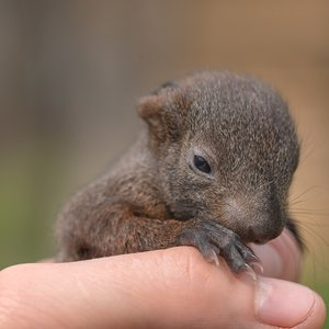 Baby Squirrel with Eyes Open