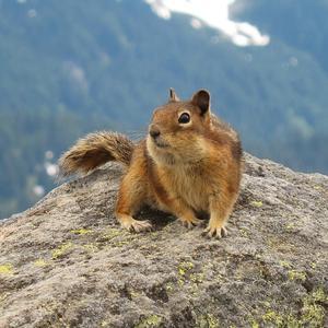 Cascade Golden Mantled Ground Squirrel
