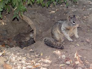 Ground Squirrel Den