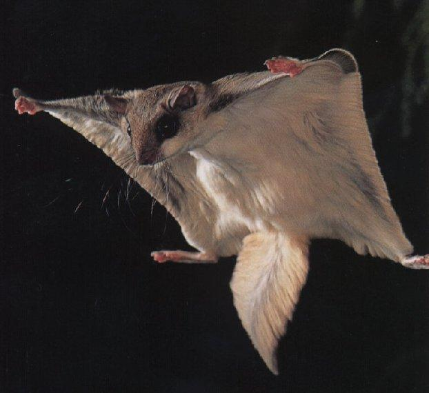 Where Do Flying Squirrels Live Whatdosquirrelseat