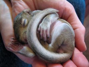 Sleeping Gray Squirrel