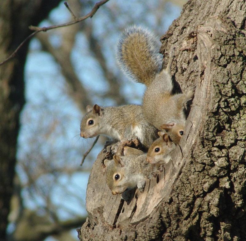 Where Do Squirrels Sleep?   www.whatdosquirrelseat.org