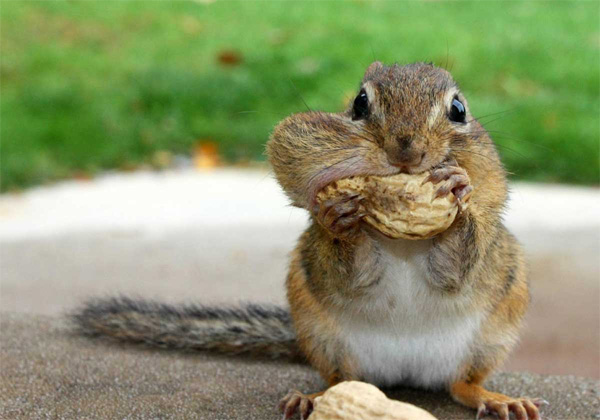 Do squirrels eat peanut butter