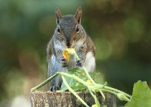 Squirrel easing a squash blossom