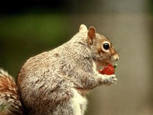 Squirrel enjoying a strawberry